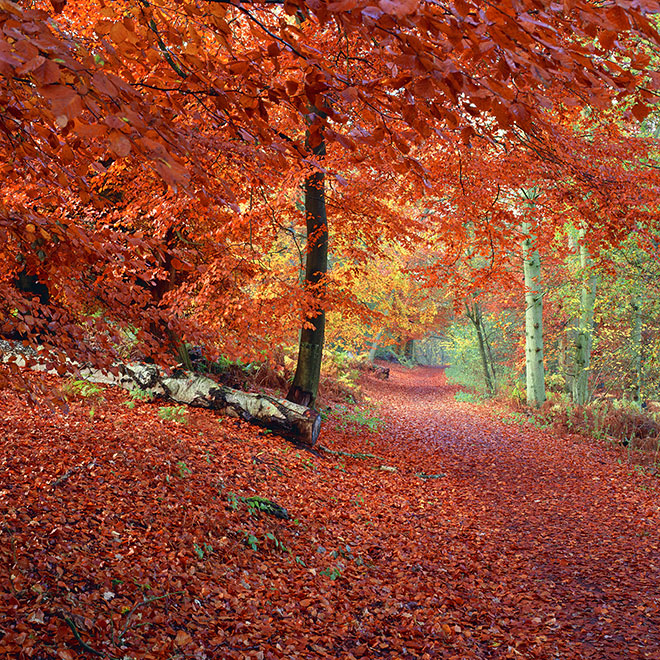 Red Carpet, Beech at Abinger Roughs, Surrey, UK (National Trust) Fagus sylvatica