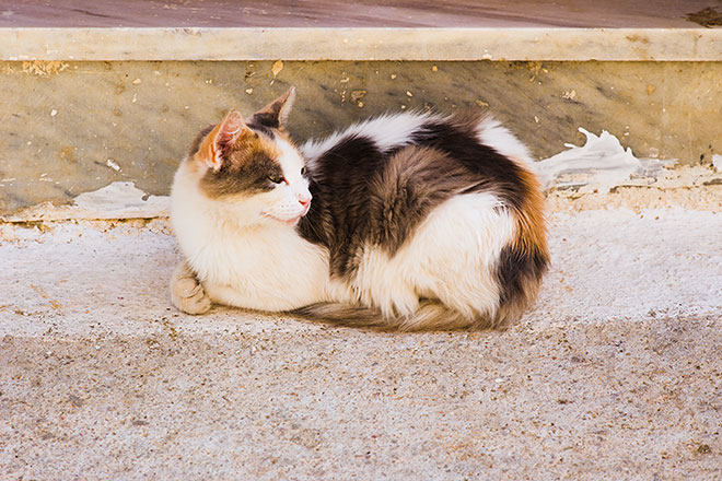 Cats of Chios. Elata, Chios