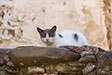 Cats of Chios. Volissos, Chios