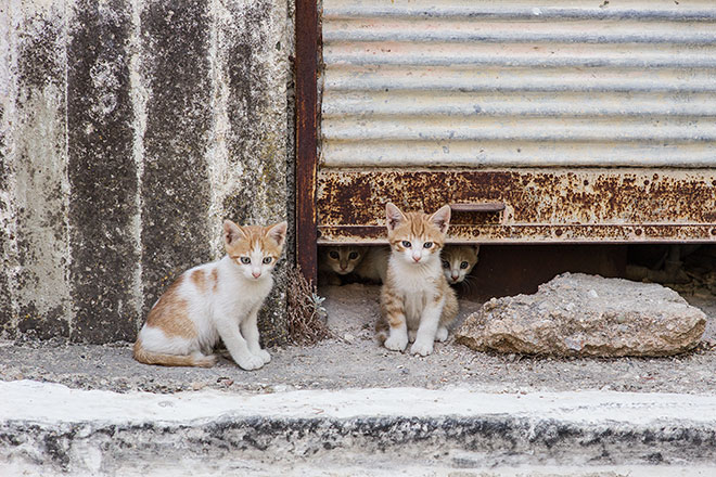 Cats of Chios. Kalamoti, Chios